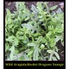 Arugula Wild - Rocket  - Dragons Tongue