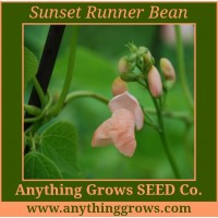 Pole Bean - Sunset Runner, Phaseolus coccineus