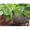 Bush Bean - Container - French Mascotte
