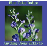 Blue False Indigo - Wild Blue Indigo