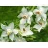 Herb - Borage - White Flowering