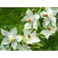 Herb - Borage - White Flowering