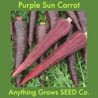 Carrot - Purple Sun