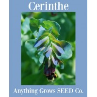 Cerinthe - Kiwi Blue - Honeywort