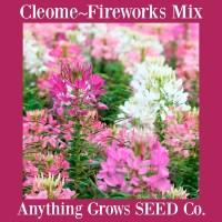 Cleome - Fireworks Mix