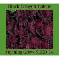 Coleus - Black Dragon