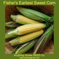 Corn - Fisher's Earliest Sweet  - Organic