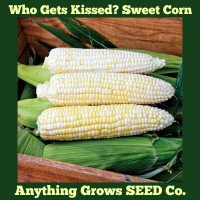 Corn - Who Gets Kissed? Sweet Corn- Organic