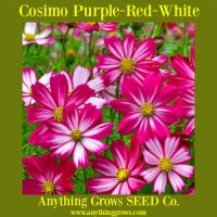 Cosmos - Cosimo Purple-Red-White