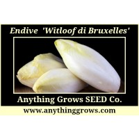 Endive/Chicory - Witloof di Bruxelles