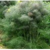 Herb - Fennel, Smokey Bronze