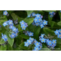 Forget Me Not - Azure Bluebirds