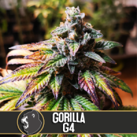 HERB - GG#4 aka Gorilla Glue