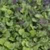 Kale - Ironman Kale Mix - Organic