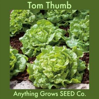 Lettuce - Tom Thumb