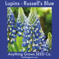 Lupine - Russell's Hyrid Blue