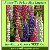 Lupine - Lupinus polyphyllus, Russell's Hybrid Mix