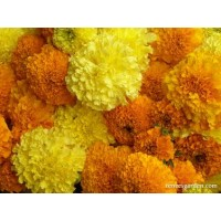 Marigold - Giant Bouquet Marigolds Orange & Yellow Beast