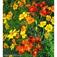 Marigold - Petite Signet Starfire