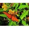 Milkweed - Asclepias curassavica