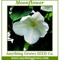 Morning Glory - Moonflower - Ipomoea alba,