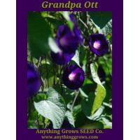 Morning Glory - Grandpa Ott - Ipomoea purpurea