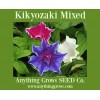Morning Glory - Kikyozaki Mixed