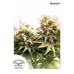 Cannabis - MasterKush