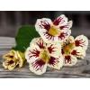 Nasturtium - Orchid Cream