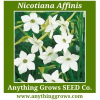 Nicotiana - Affinis - Ornamental Tobacco