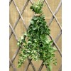 Herb - Oregano~White Flowerd Greek - Organic