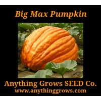 Pumpkin - Big Max - Organic
