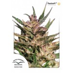 Cannabis - Passion #1