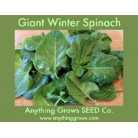Spinach - Giant Winter - Organic