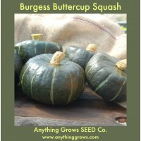 Squash - Winter - Burgess Buttercup - Organic
