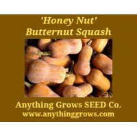 Squash - Winter - Honey Nut Butternut - Organic