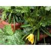 Squash - Summer - Astia - Container Zucchini