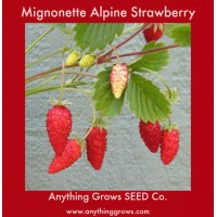 Strawberry - Alpine, Mignonette