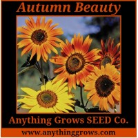 Sunflower - Autumn Beauty, Helianthus annuus - Organic