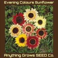 Sunflower - Evening Colours Mix - Organic