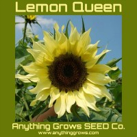 Sunflower - Lemon Queen - Organic