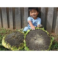 Sunflower - Mongolian Giant