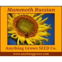 Sunflower - Mammoth, Helianthus annuus - Organic