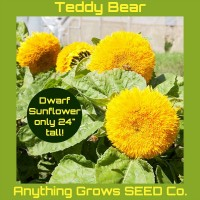 Sunflower - Teddy Bear Dwarf - Organic
