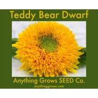 Sunflower - Teddy Bear, Dwarf, Helianthus annuus