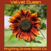 Sunflower - Velvet Queen - Organic