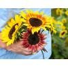 Sunflower - Fantazja (SEMI-DWARF)