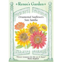Sunflower - Sun Samba - Helianthus annuus