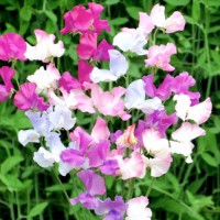 Sweet Pea - Amethyst & Orchids