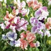 Sweet Pea - True Fragrance